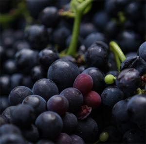 Köstliche Trauben des Cabernet Sauvignon